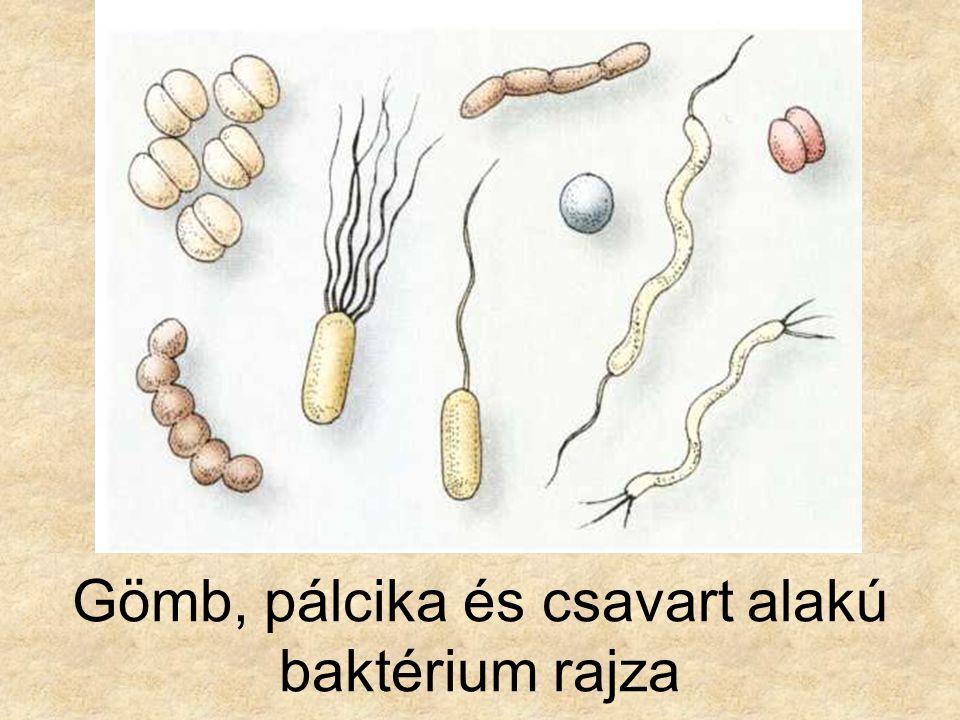 Pálcika és csavart alakú baktérium képe
