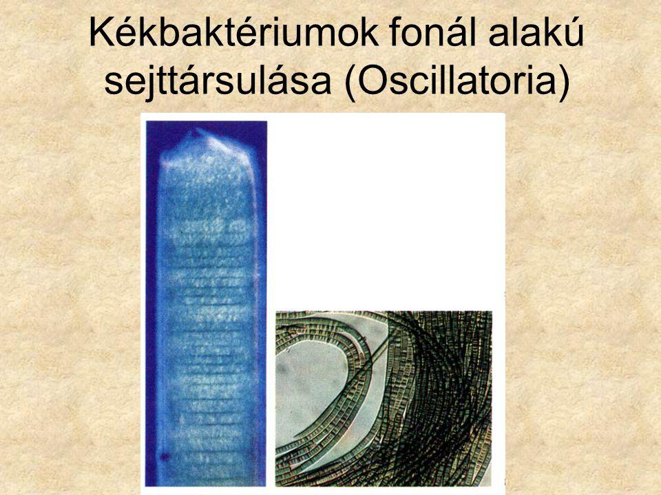 Fonalas kékbaktérium telep (Nostoc)