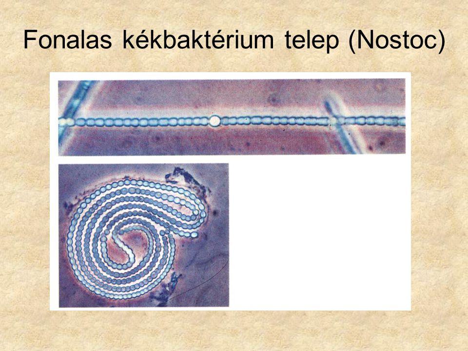Egyszerű eukarióták Körülhatárolt sejtmagjuk vagy sejtmagvaik vannak)