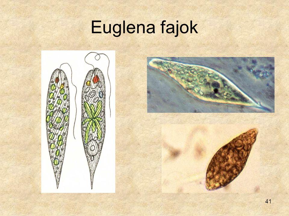 41 Euglena fajok