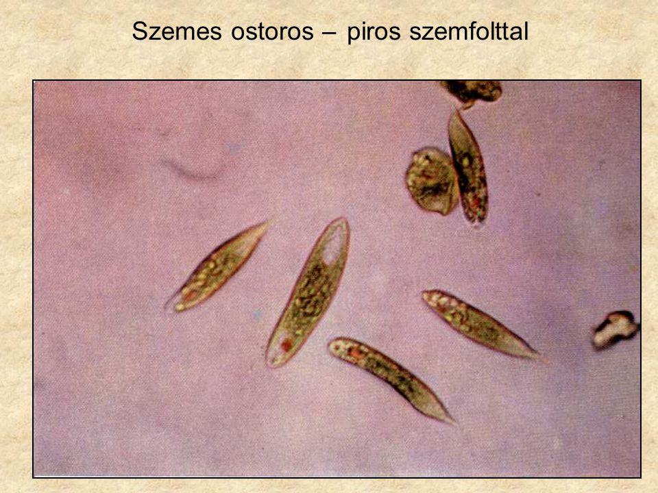 43 Phacus fajok