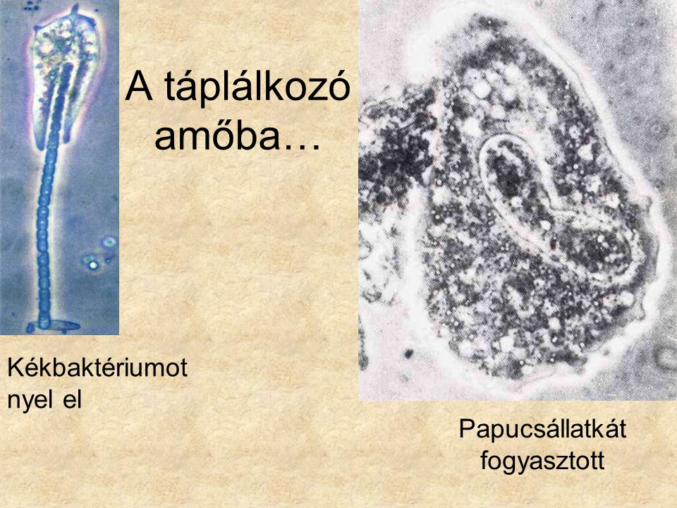 A táplálkozó amőba… Kékbaktériumot nyel el Papucsállatkát fogyasztott