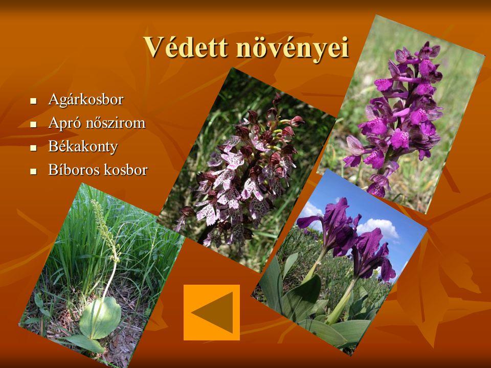 Védett növényei Agárkosbor Agárkosbor Apró nőszirom Apró nőszirom Békakonty Békakonty Bíboros kosbor Bíboros kosbor