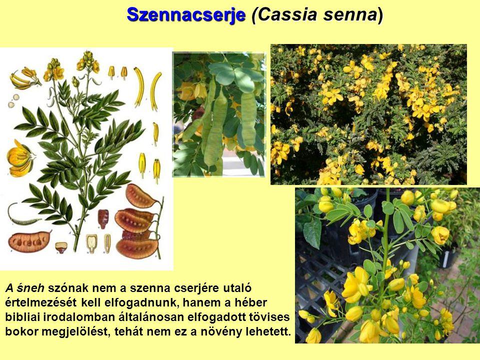 Szennacserje (Cassia senna) A śneh szónak nem a szenna cserjére utaló értelmezését kell elfogadnunk, hanem a héber bibliai irodalomban általánosan elf