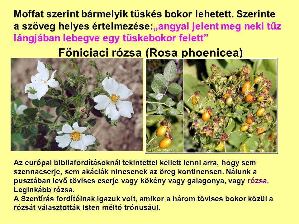 """Föniciaci rózsa (Rosa phoenicea) Moffat szerint bármelyik tüskés bokor lehetett. Szerinte a szöveg helyes értelmezése:""""angyal jelent meg neki tűz láng"""