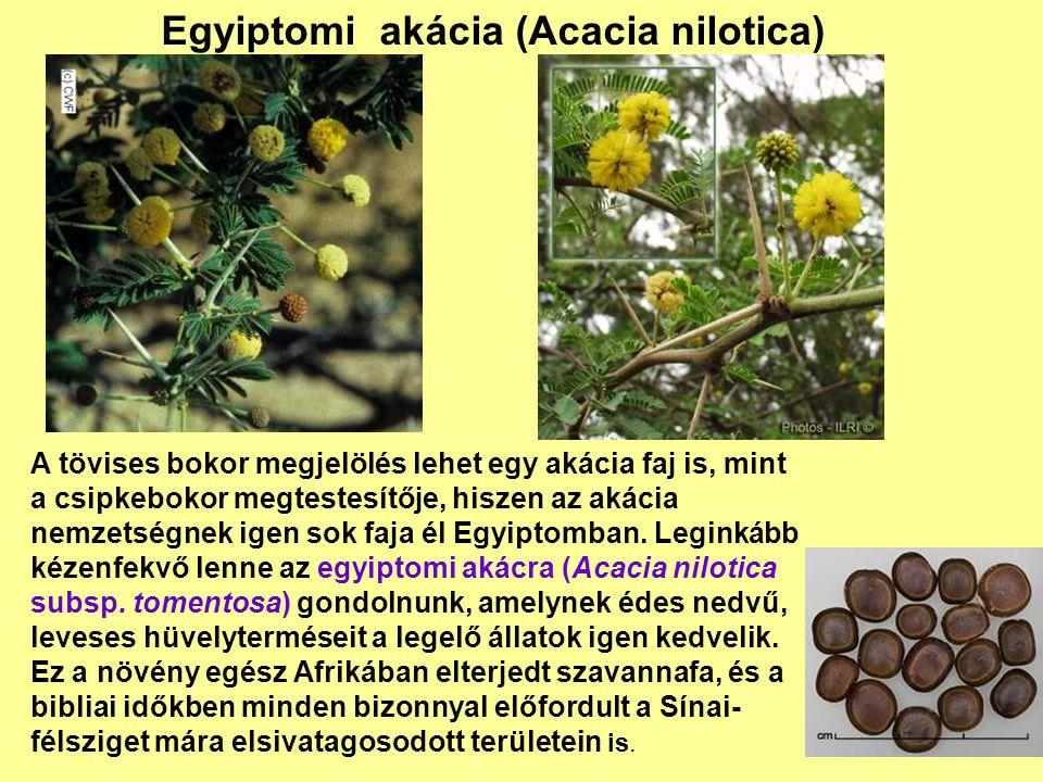 Egyiptomi akácia (Acacia nilotica) A tövises bokor megjelölés lehet egy akácia faj is, mint a csipkebokor megtestesítője, hiszen az akácia nemzetségne