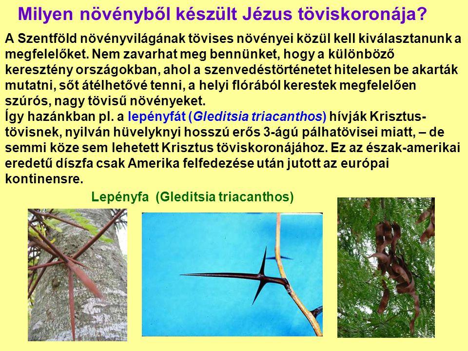 Milyen növényből készült Jézus töviskoronája? A Szentföld növényvilágának tövises növényei közül kell kiválasztanunk a megfelelőket. Nem zavarhat meg