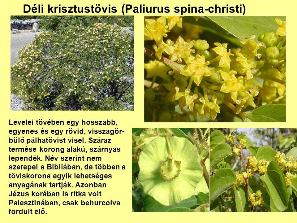 Déli krisztustövis (Paliurus spina-christi) Levelei tövében egy hosszabb, egyenes és egy rövid, visszagör- bülő pálhatövist visel. Száraz termése koro