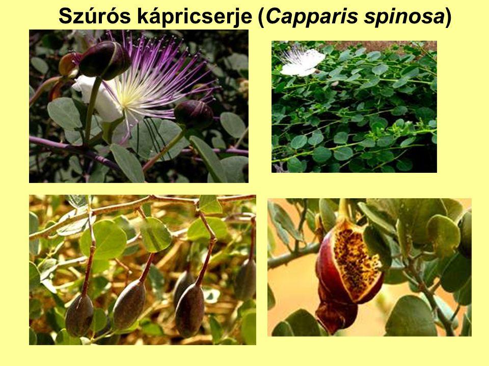 Szúrós kápricserje (Capparis spinosa)