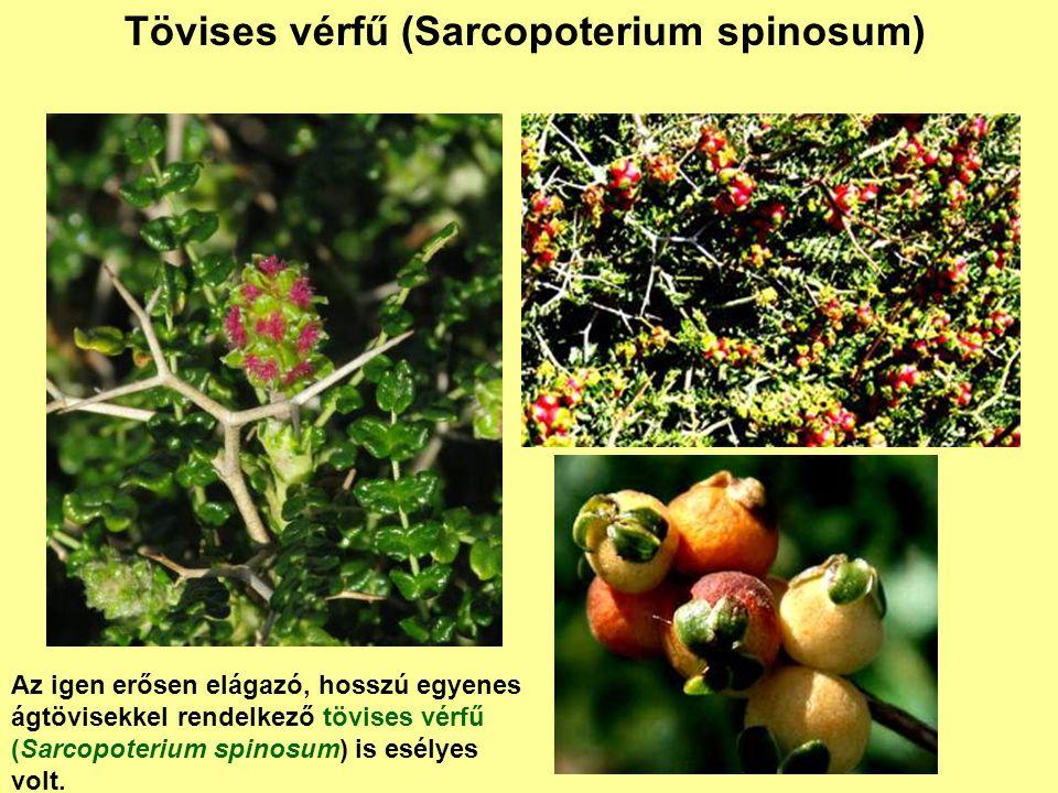 Tövises vérfű (Sarcopoterium spinosum) Az igen erősen elágazó, hosszú egyenes ágtövisekkel rendelkező tövises vérfű (Sarcopoterium spinosum) is esélye
