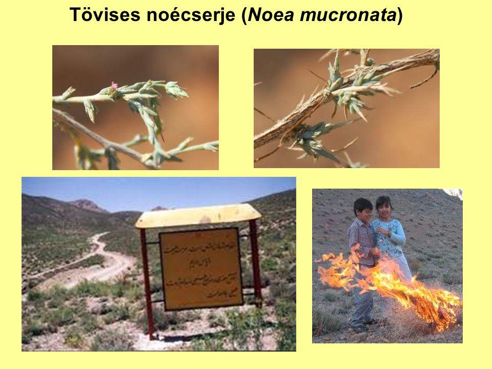 Tövises noécserje (Noea mucronata)