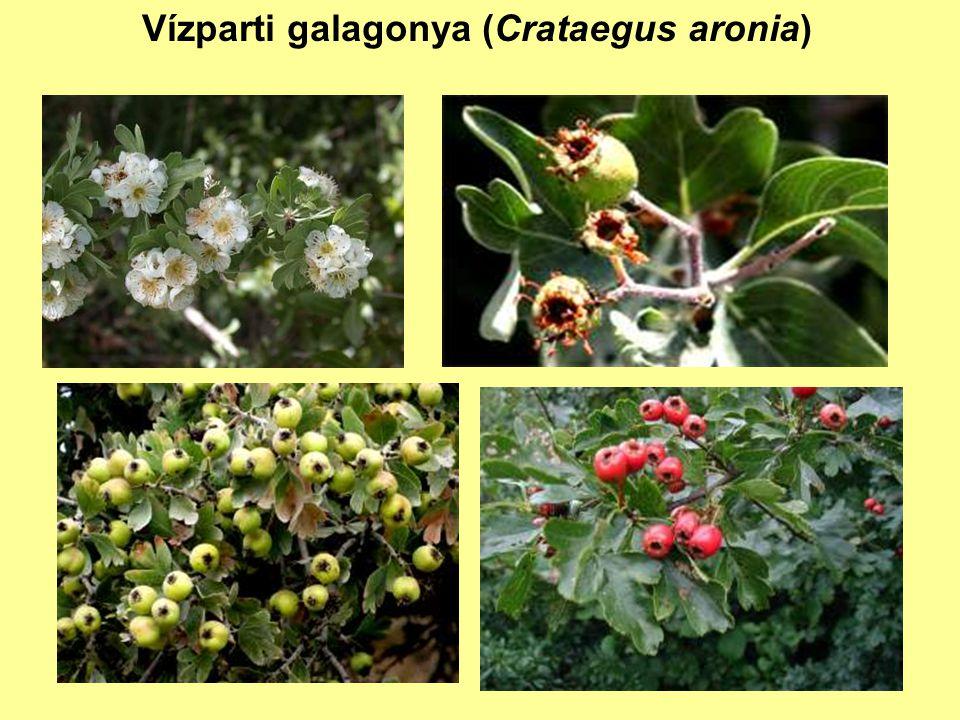 Vízparti galagonya (Crataegus aronia)