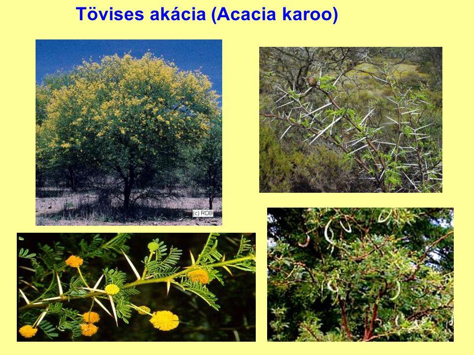 Tövises akácia (Acacia karoo)