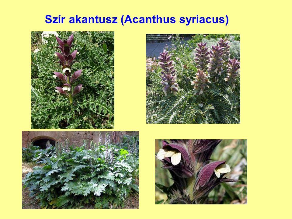 Szír akantusz (Acanthus syriacus)