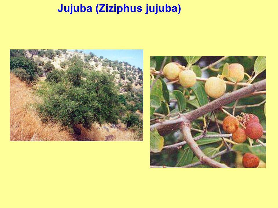 Jujuba (Ziziphus jujuba)