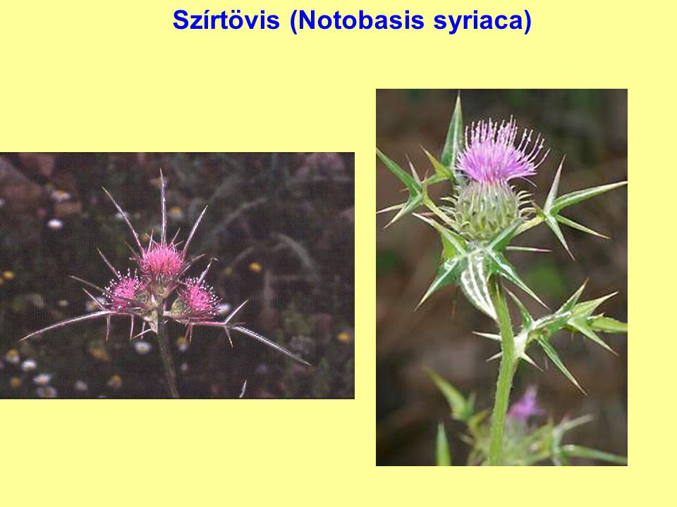 Szírtövis (Notobasis syriaca)