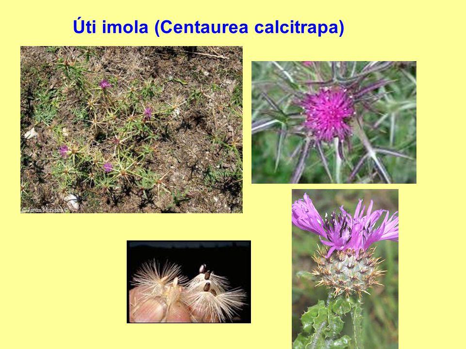 Úti imola (Centaurea calcitrapa)