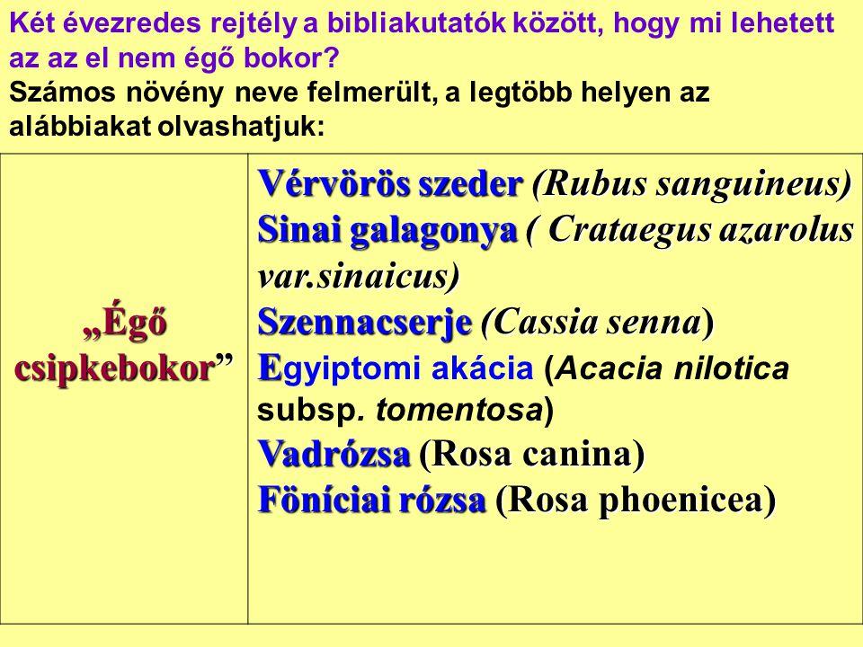 """""""Égő csipkebokor"""" Vérvörös szeder (Rubus sanguineus) Sinai galagonya ( Crataegus azarolus var.sinaicus) Szennacserje (Cassia senna) E Vadrózsa (Rosa c"""