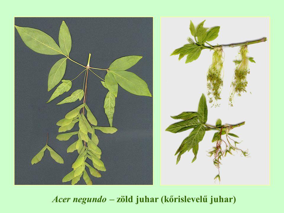 Acer negundo – zöld juhar (kőrislevelű juhar)