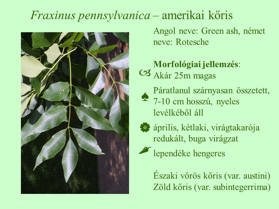 Fraxinus pennsylvanica – amerikai kőris Angol neve: Green ash, német neve: Rotesche Morfológiai jellemzés: Akár 25m magas Páratlanul szárnyasan összetett, 7-10 cm hosszú, nyeles levélkéből áll április, kétlaki, virágtakarója redukált, buga virágzat lependéke hengeres Északi vörös kőris (var.