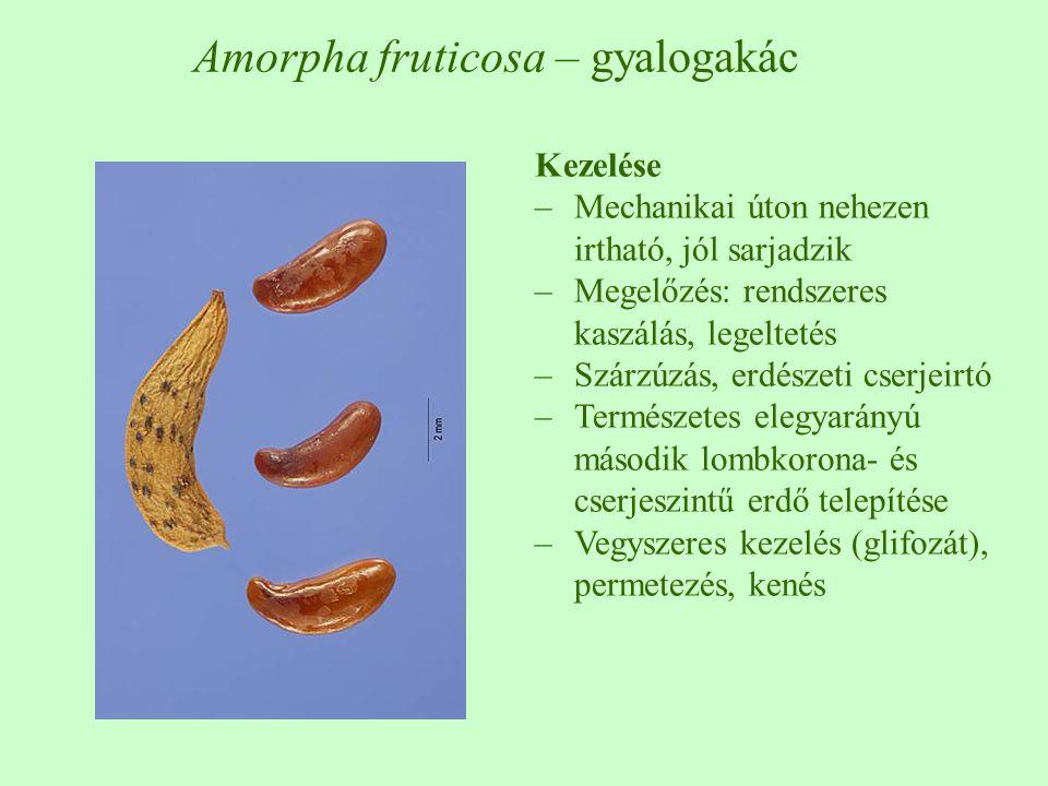 Kezelése –Mechanikai úton nehezen irtható, jól sarjadzik –Megelőzés: rendszeres kaszálás, legeltetés –Szárzúzás, erdészeti cserjeirtó –Természetes elegyarányú második lombkorona- és cserjeszintű erdő telepítése –Vegyszeres kezelés (glifozát), permetezés, kenés Amorpha fruticosa – gyalogakác