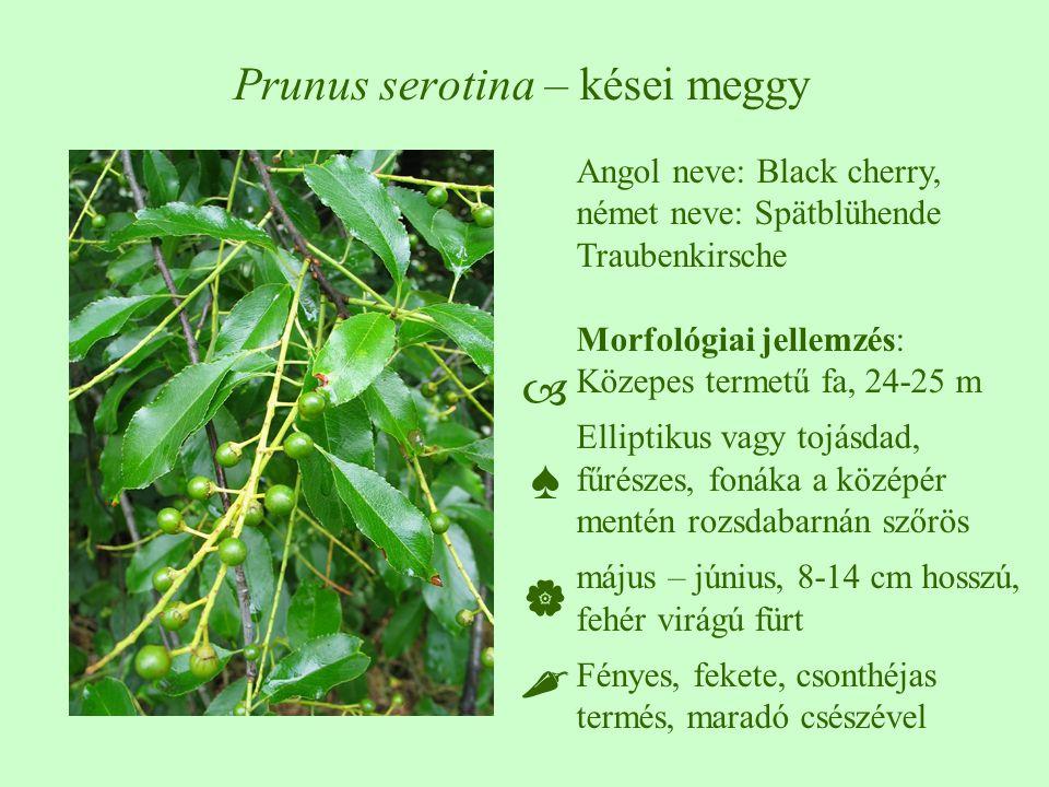 Angol neve: Black cherry, német neve: Spätblühende Traubenkirsche Morfológiai jellemzés: Közepes termetű fa, 24-25 m Elliptikus vagy tojásdad, fűrészes, fonáka a középér mentén rozsdabarnán szőrös május – június, 8-14 cm hosszú, fehér virágú fürt Fényes, fekete, csonthéjas termés, maradó csészével ♠♠ Prunus serotina – kései meggy