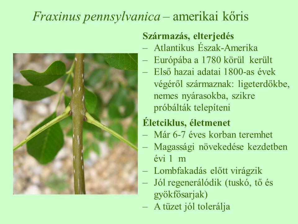 Származás, elterjedés –Atlantikus Észak-Amerika –Európába a 1780 körül került –Első hazai adatai 1800-as évek végéről származnak: ligeterdőkbe, nemes nyárasokba, szikre próbálták telepíteni Életciklus, életmenet –Már 6-7 éves korban teremhet –Magassági növekedése kezdetben évi 1 m –Lombfakadás előtt virágzik –Jól regenerálódik (tuskó, tő és gyökfősarjak) –A tüzet jól tolerálja Fraxinus pennsylvanica – amerikai kőris