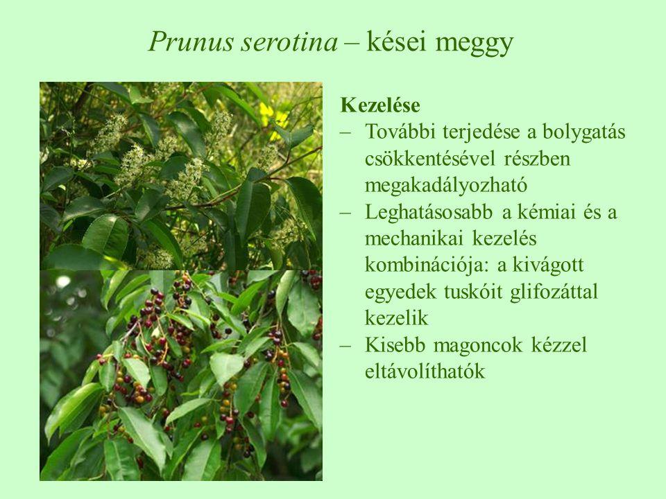 Kezelése –További terjedése a bolygatás csökkentésével részben megakadályozható –Leghatásosabb a kémiai és a mechanikai kezelés kombinációja: a kivágott egyedek tuskóit glifozáttal kezelik –Kisebb magoncok kézzel eltávolíthatók Prunus serotina – kései meggy