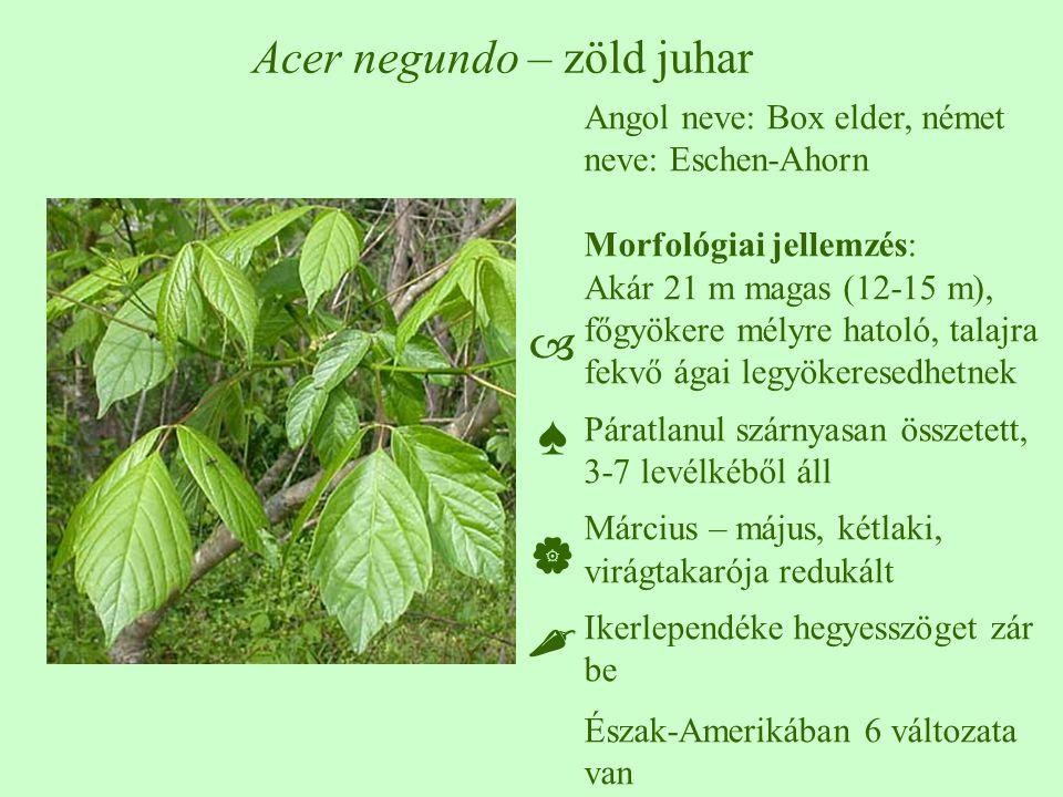 Acer negundo – zöld juhar Angol neve: Box elder, német neve: Eschen-Ahorn Morfológiai jellemzés: Akár 21 m magas (12-15 m), főgyökere mélyre hatoló, talajra fekvő ágai legyökeresedhetnek Páratlanul szárnyasan összetett, 3-7 levélkéből áll Március – május, kétlaki, virágtakarója redukált Ikerlependéke hegyesszöget zár be Észak-Amerikában 6 változata van ♠♠