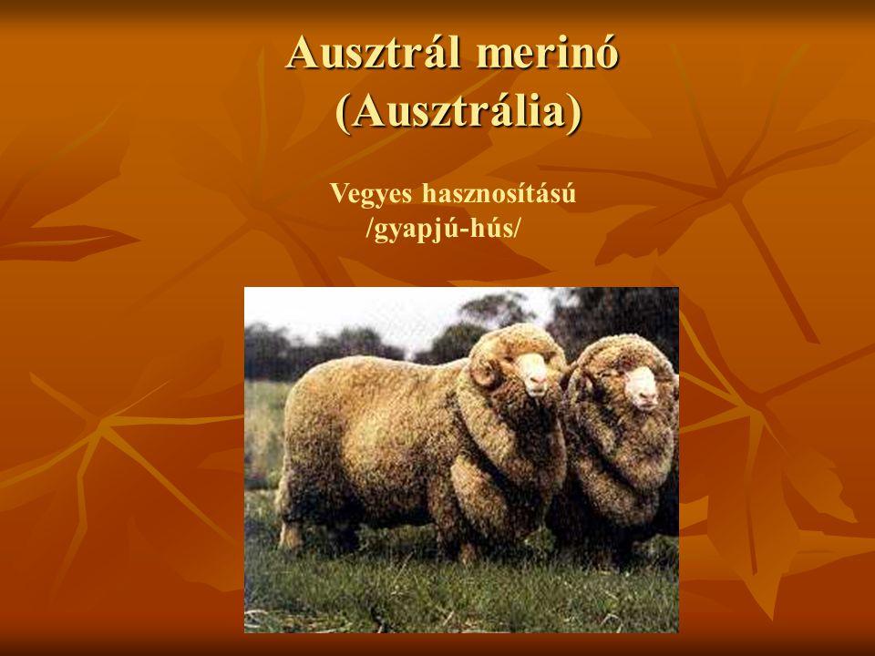 Ausztrál merinó (Ausztrália) Vegyes hasznosítású /gyapjú-hús/