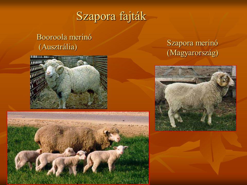 Szapora fajták Booroola merinó (Ausztrália) Szapora merinó (Magyarország)