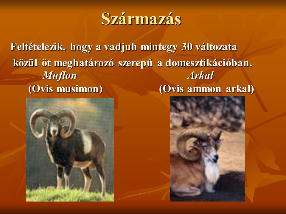 Származás Muflon (Ovis musimon) Muflon (Ovis musimon) Arkal (Ovis ammon arkal) Arkal (Ovis ammon arkal) Feltételezik, hogy a vadjuh mintegy 30 változa