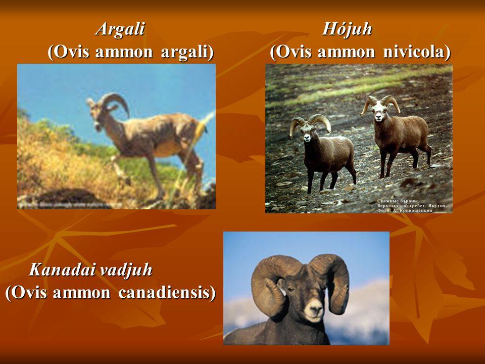 Argali (Ovis ammon argali) Argali (Ovis ammon argali) Hójuh (Ovis ammon nivicola) Hójuh (Ovis ammon nivicola) Kanadai vadjuh Kanadai vadjuh (Ovis ammo