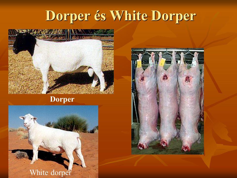 Dorper és White Dorper változat/ változat/ Dorper White dorper