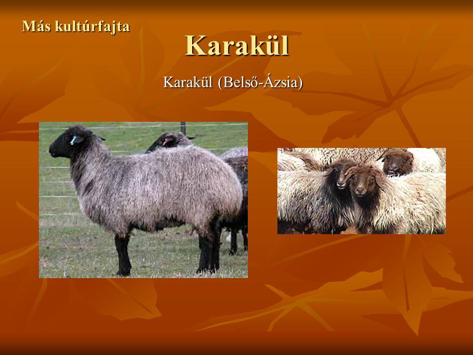 Karakül Más kultúrfajta Karakül (Belső-Ázsia)