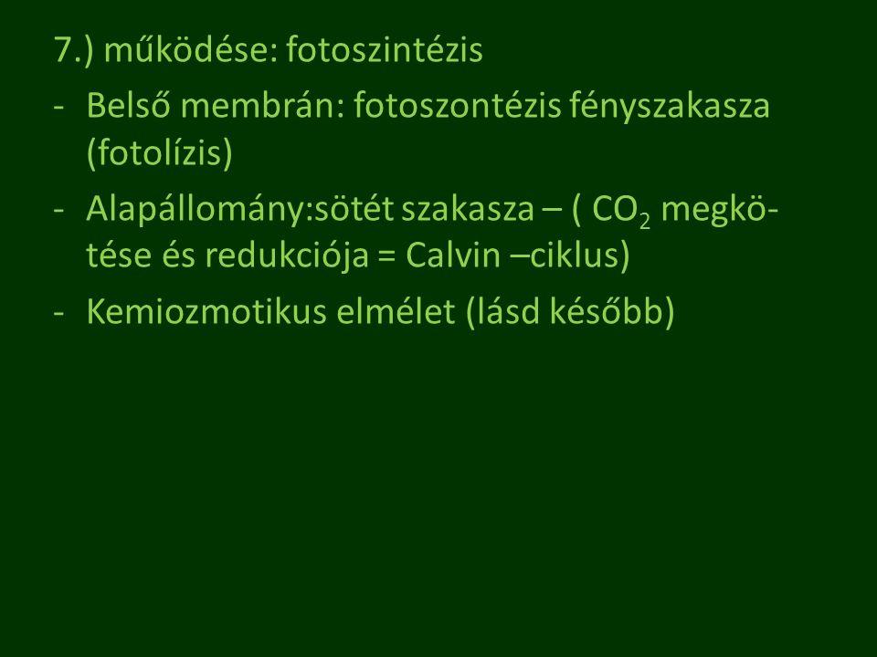 7.) működése: fotoszintézis -Belső membrán: fotoszontézis fényszakasza (fotolízis) -Alapállomány:sötét szakasza – ( CO 2 megkö- tése és redukciója = C