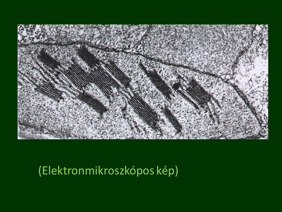 (Elektronmikroszkópos kép)
