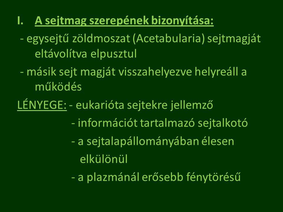I.A sejtmag szerepének bizonyítása: - egysejtű zöldmoszat (Acetabularia) sejtmagját eltávolítva elpusztul - másik sejt magját visszahelyezve helyreáll
