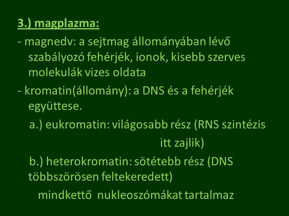 3.) magplazma: - magnedv: a sejtmag állományában lévő szabályozó fehérjék, ionok, kisebb szerves molekulák vizes oldata - kromatin(állomány): a DNS és