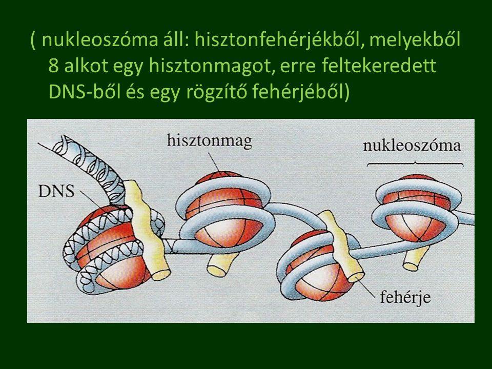 ( nukleoszóma áll: hisztonfehérjékből, melyekből 8 alkot egy hisztonmagot, erre feltekeredett DNS-ből és egy rögzítő fehérjéből)