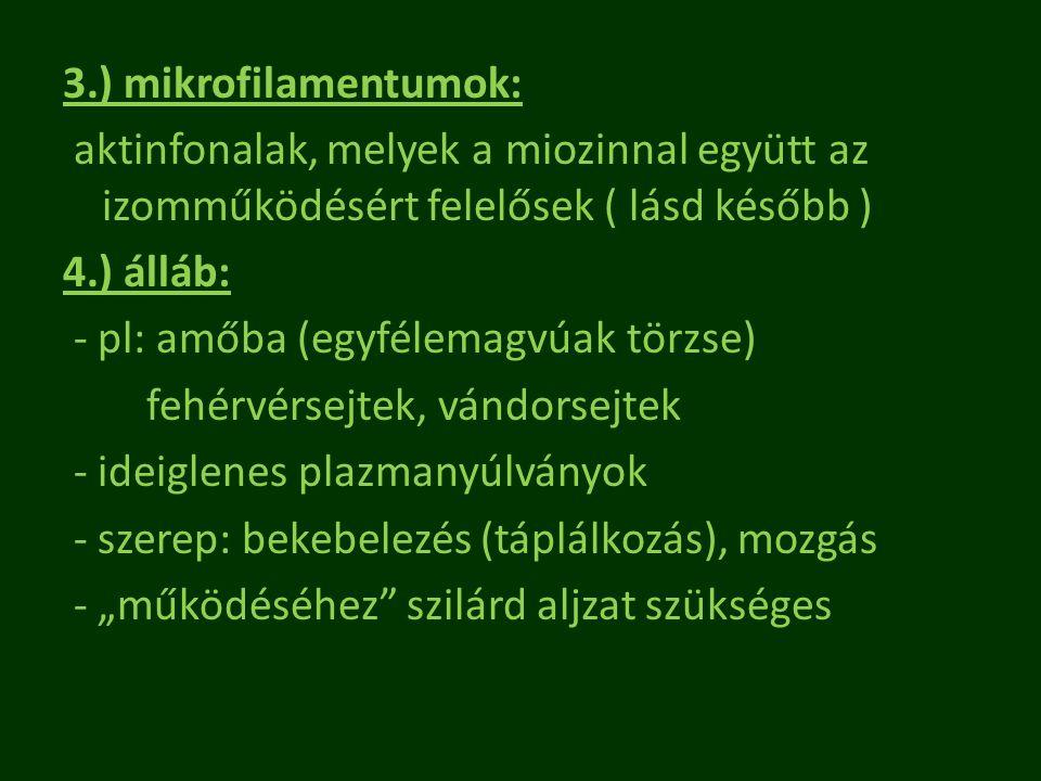 3.) mikrofilamentumok: aktinfonalak, melyek a miozinnal együtt az izomműködésért felelősek ( lásd később ) 4.) álláb: - pl: amőba (egyfélemagvúak törz