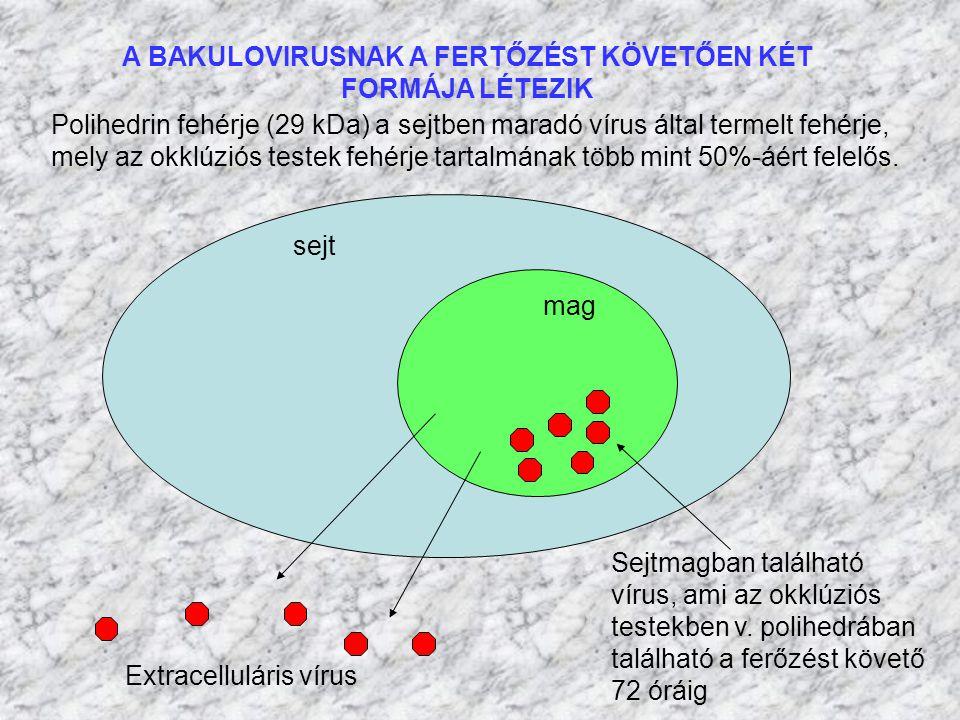 A BAKULOVIRUSNAK A FERTŐZÉST KÖVETŐEN KÉT FORMÁJA LÉTEZIK sejt mag Extracelluláris vírus Sejtmagban található vírus, ami az okklúziós testekben v. pol