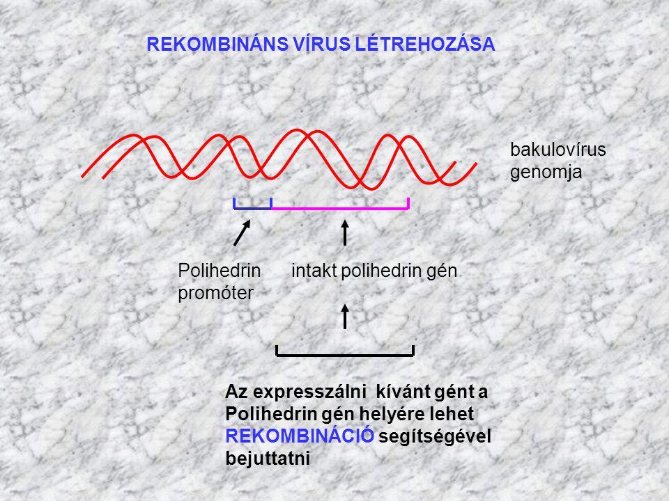 bakulovírus genomja Polihedrin intakt polihedrin gén promóter Az expresszálni kívánt gént a Polihedrin gén helyére lehet REKOMBINÁCIÓ segítségével bej