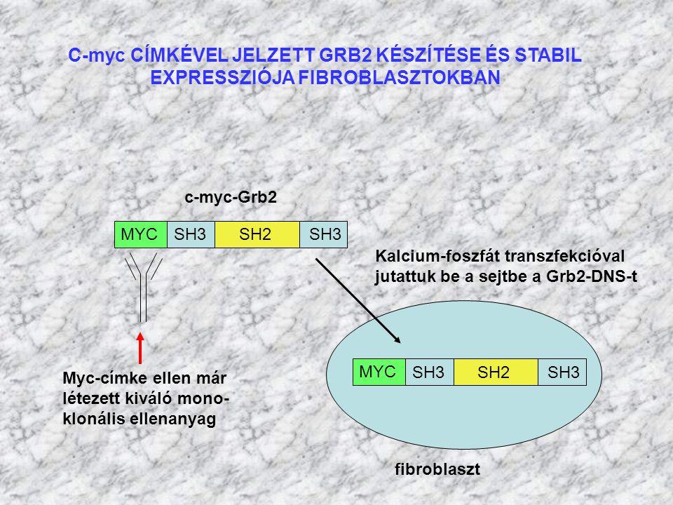 C-myc CÍMKÉVEL JELZETT GRB2 KÉSZÍTÉSE ÉS STABIL EXPRESSZIÓJA FIBROBLASZTOKBAN c-myc-Grb2 SH3 SH2 SH3 MYC Myc-címke ellen már létezett kiváló mono- klo