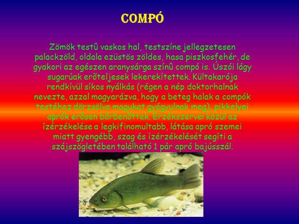 Compó Zömök testû vaskos hal, testszíne jellegzetesen palackzöld, oldala ezüstös zöldes, hasa piszkosfehér, de gyakori az egészen aranysárga színû compó is.