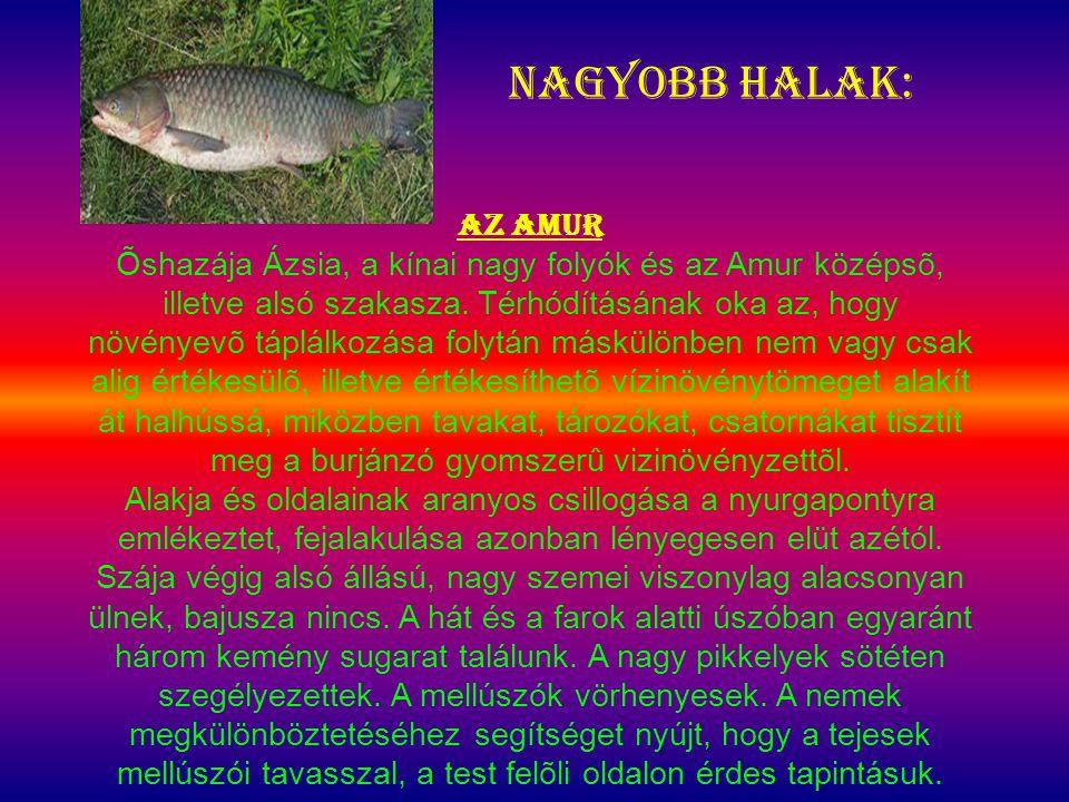 Nagyobb halak: Az amur Õshazája Ázsia, a kínai nagy folyók és az Amur középsõ, illetve alsó szakasza. Térhódításának oka az, hogy növényevõ táplálkozá