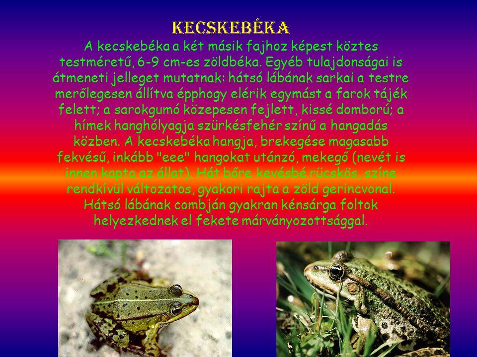 Kecskebéka A kecskebéka a két másik fajhoz képest köztes testméretű, 6-9 cm-es zöldbéka. Egyéb tulajdonságai is átmeneti jelleget mutatnak: hátsó lábá
