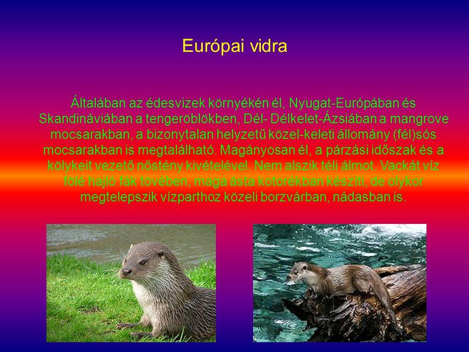 Európai vidra Általában az édesvizek környékén él, Nyugat-Európában és Skandináviában a tengeröblökben, Dél- Délkelet-Ázsiában a mangrove mocsarakban,
