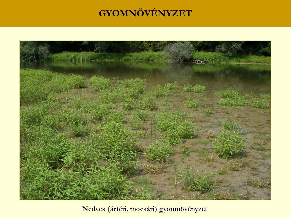 GYOMNÖVÉNYZET Nedves (ártéri, mocsári) gyomnövényzet
