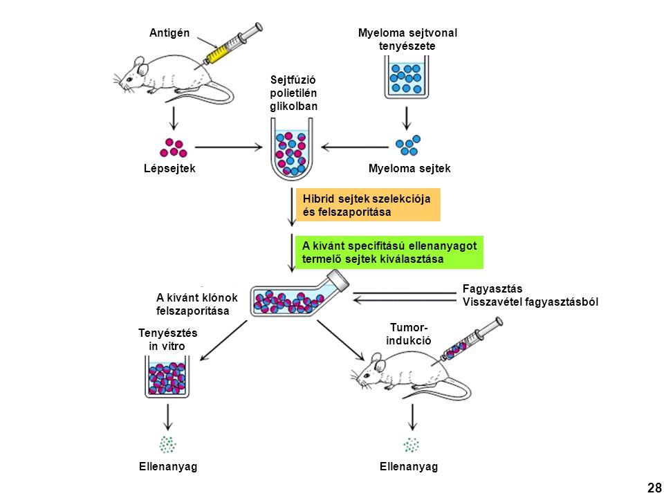 Antigén Lépsejtek Ellenanyag Myeloma sejtek Myeloma sejtvonal tenyészete Hibrid sejtek szelekciója és felszaporítása Sejtfúzió polietilén glikolban A